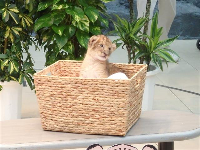 ライオン 赤ちゃん 画像