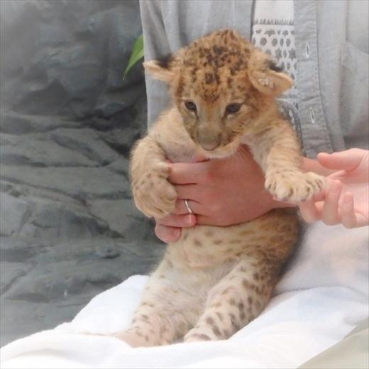 ライオン 赤ちゃん 抱っこ