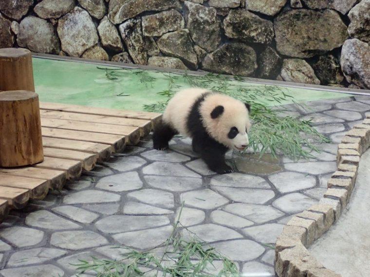 パンダ 赤ちゃん 彩浜