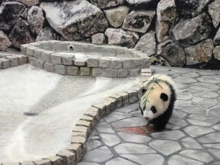 パンダの赤ちゃん アドベンチャーワールド