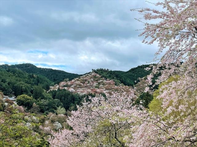吉野山 桜 吉水神社