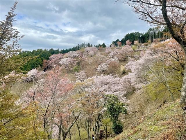 吉野山 桜 時間