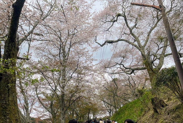 吉野山 桜 歩く