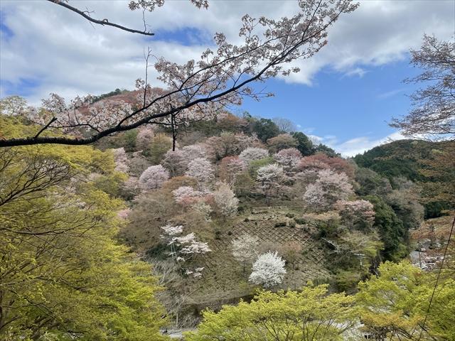 吉野山 下千本 桜