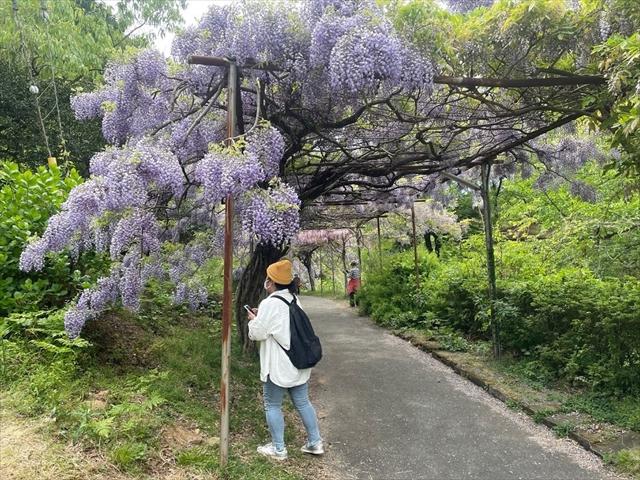 みやまの里森林公園 藤